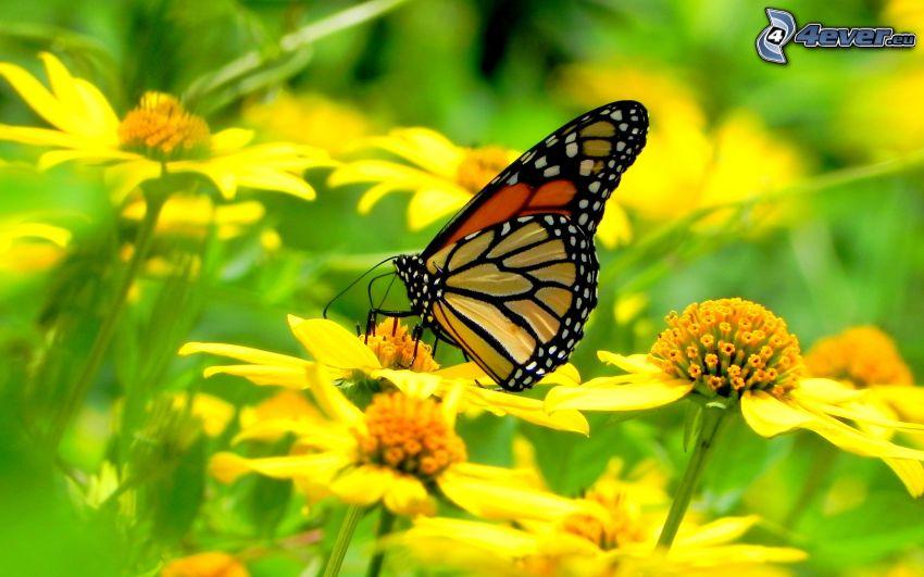 Motyl na kwiatku, żółte kwiaty, makro