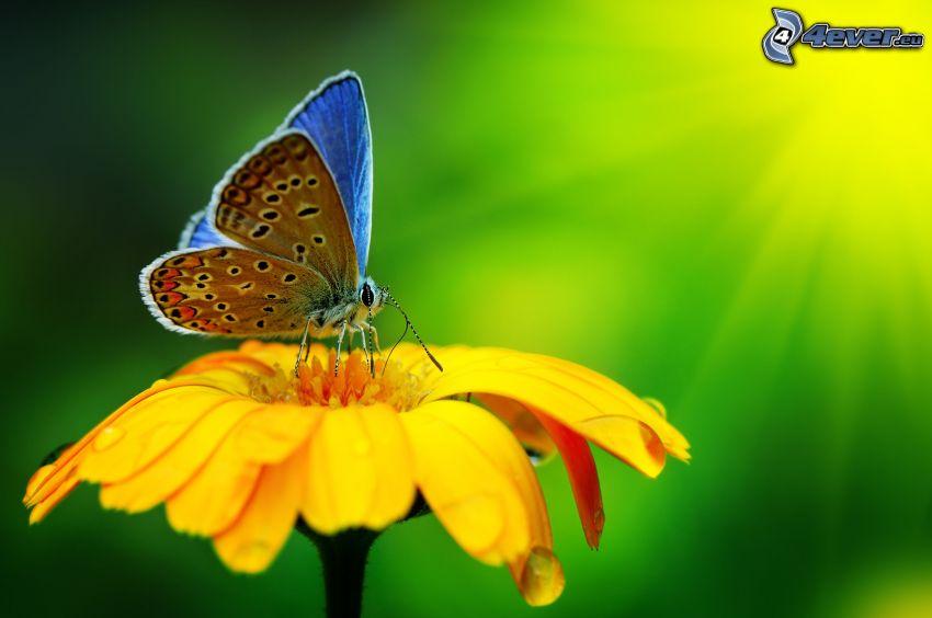 Motyl na kwiatku, żółty kwiat, makro