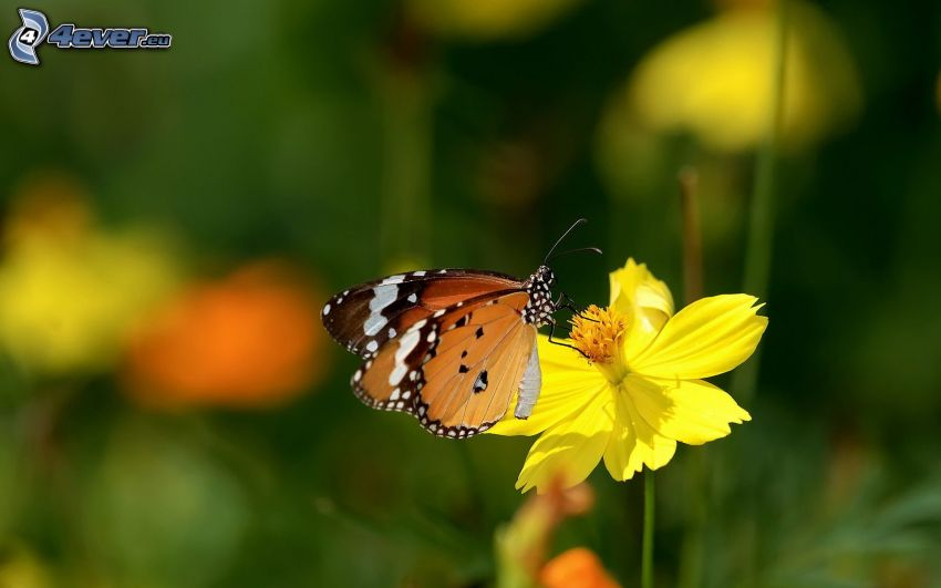 Motyl na kwiatku, żółty kwiat