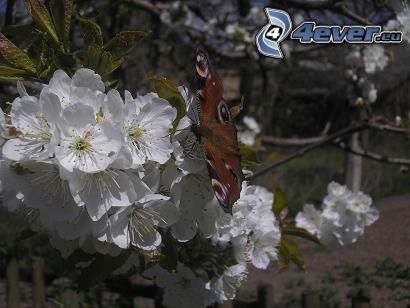 motyl pawie oczko, czereśnia, biały kwiat
