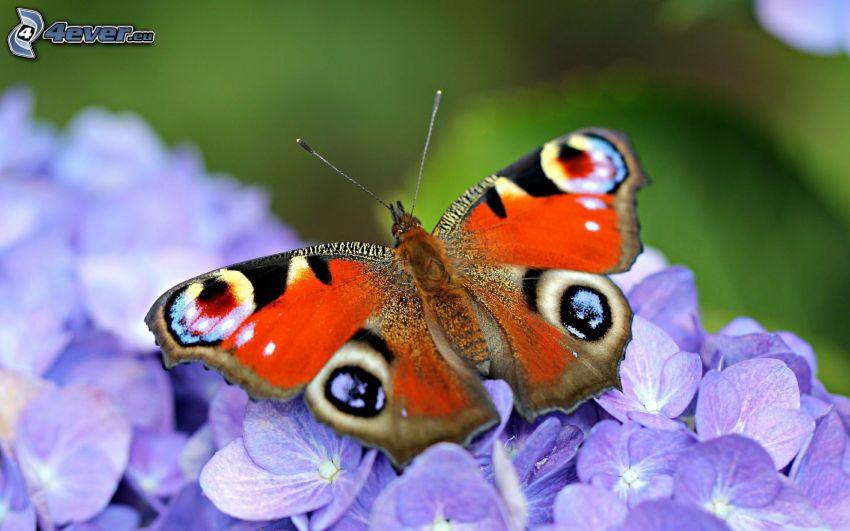 motyl pawie oczko, fioletowe kwiaty, makro