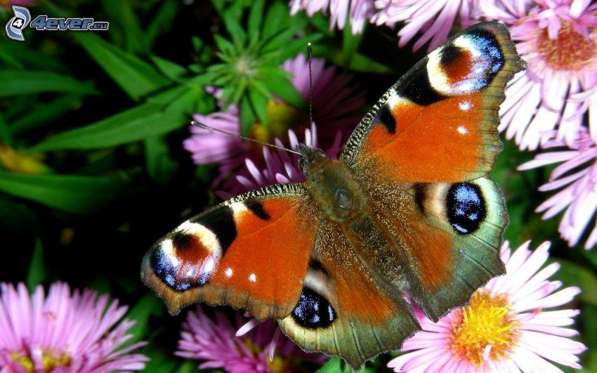 motyl pawie oczko, fioletowe kwiaty