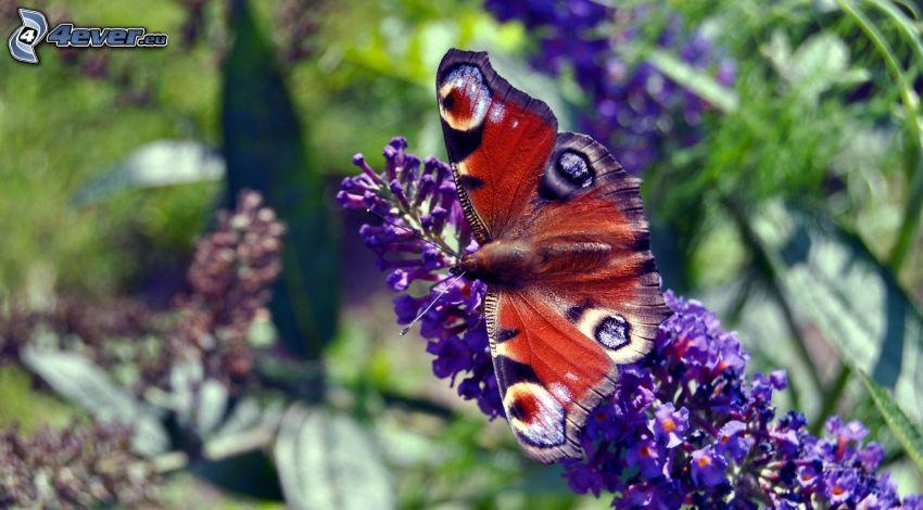 motyl pawie oczko, fioletowy kwiat