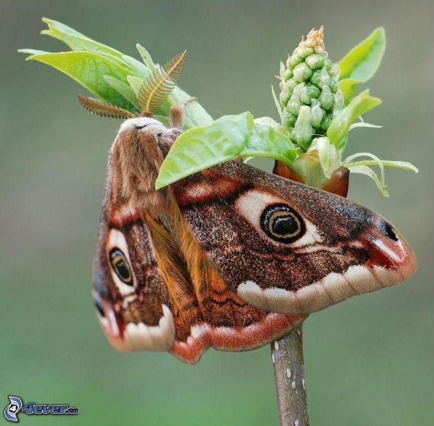 motyl pawie oczko, kwiat