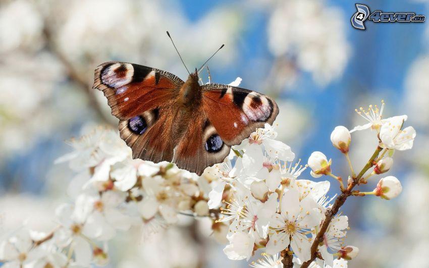 motyl pawie oczko, kwitnące gałązki
