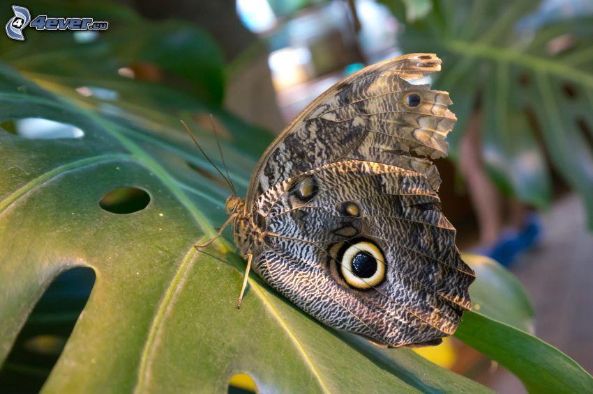 motyl pawie oczko, liść