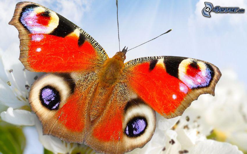 motyl pawie oczko, makro