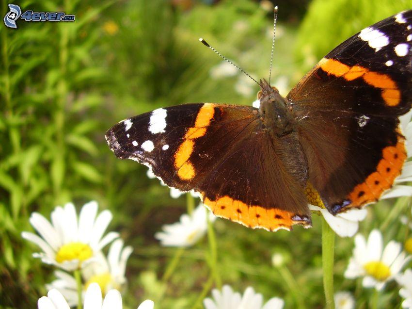motyl pawie oczko, margaretki, białe kwiaty, trawa