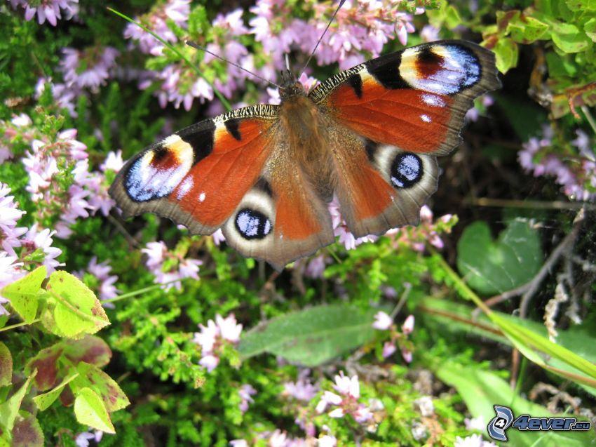 motyl pawie oczko, Motyl na kwiatku