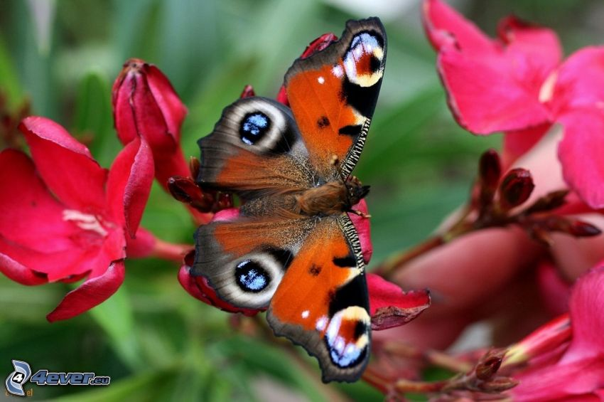 motyl pawie oczko, różowe kwiaty
