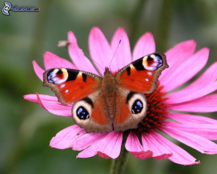 motyl pawie oczko, różowy kwiat
