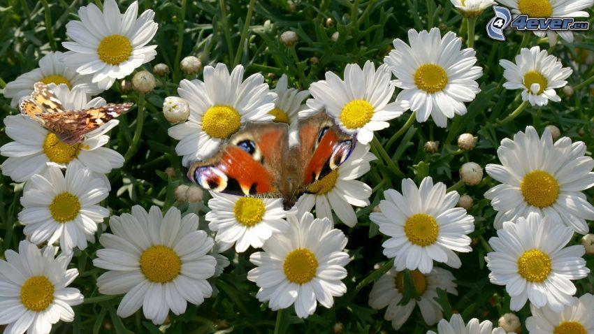 motyl pawie oczko, stokrotki