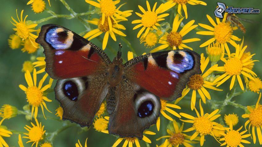 motyl pawie oczko, żółte kwiaty