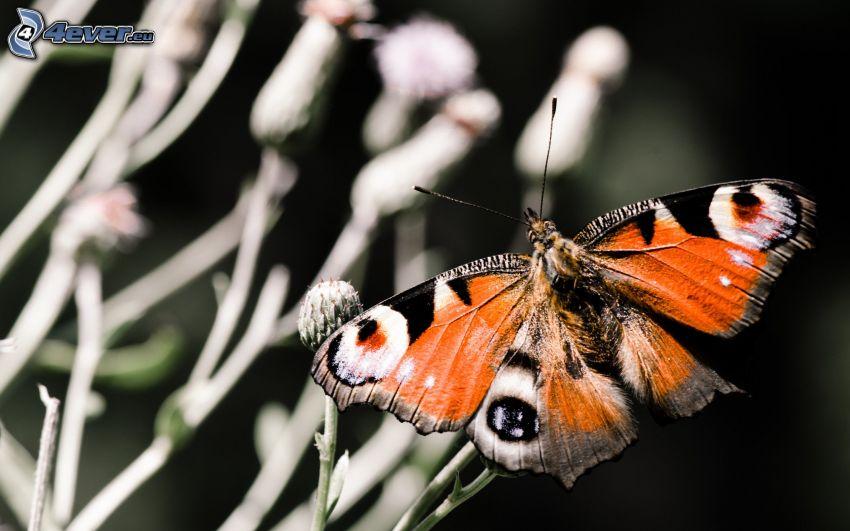 motyl pawie oczko