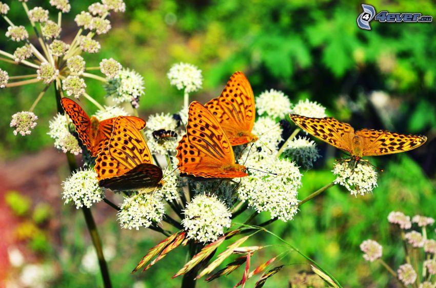 Motyle, białe kwiaty