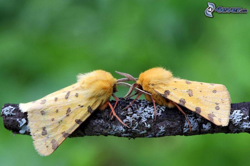 Motyle, ćma, drewno