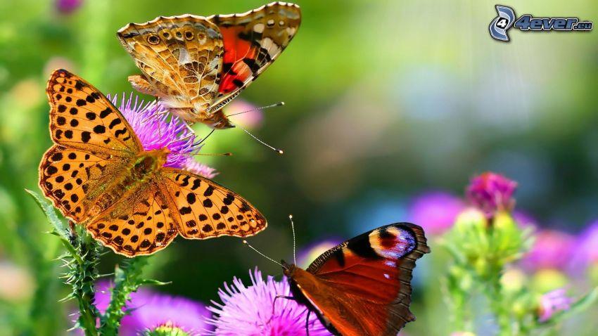 Motyle, oset