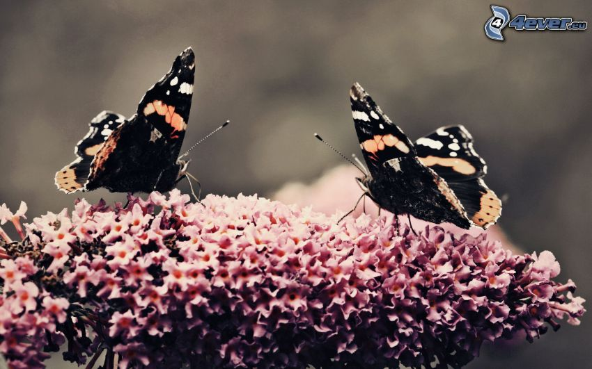 Motyle, różowy kwiat