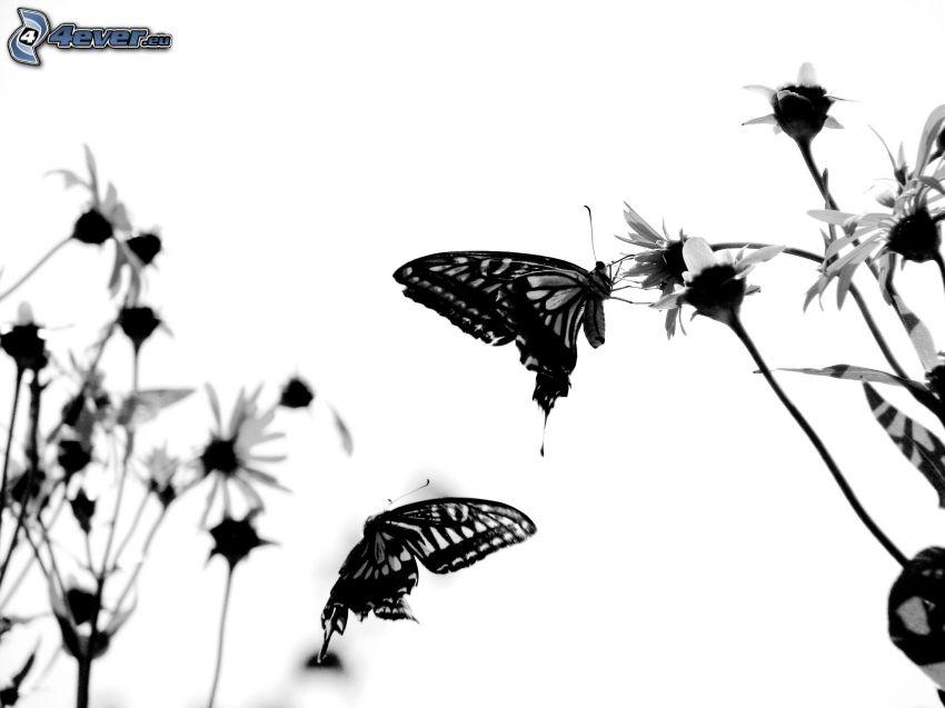 Motyle, stokrotki, czarno-białe zdjęcie