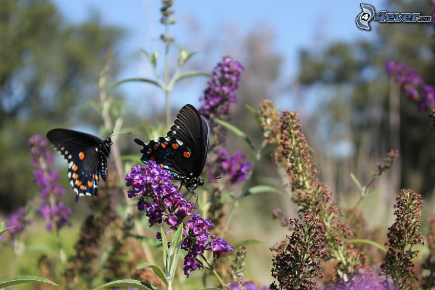 motyle na kwiatach, czarny motyl, fioletowy kwiat