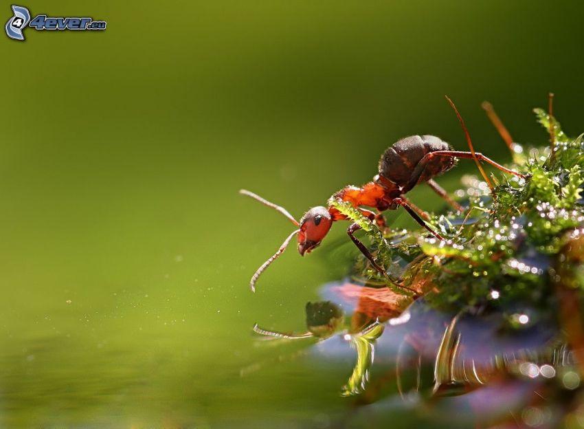 mrówka, powierzchnia wody, mech, makro
