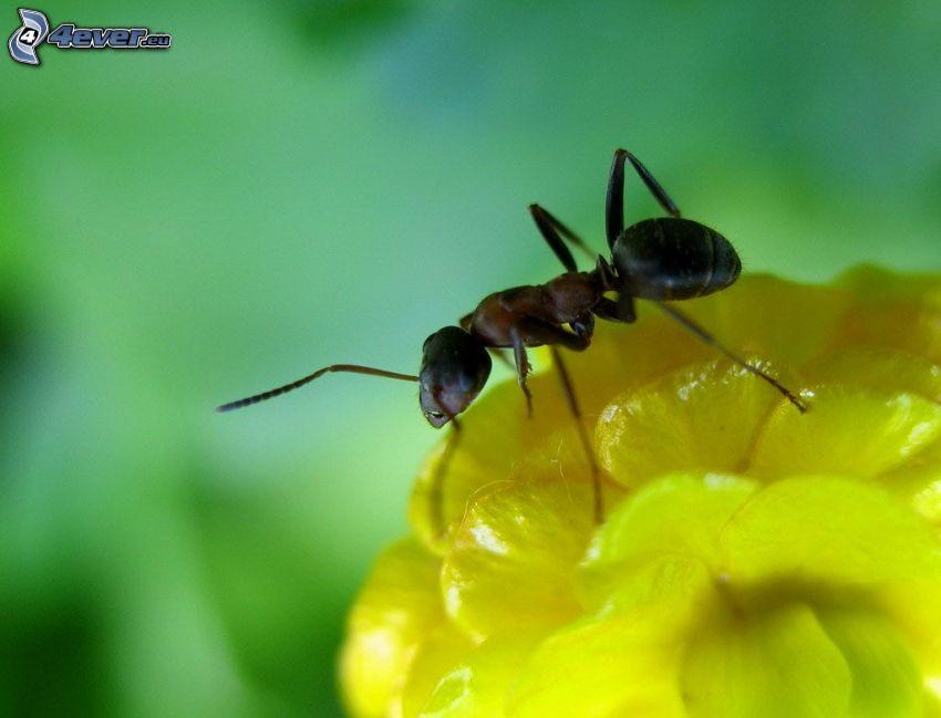 mrówka, żółty kwiat, makro