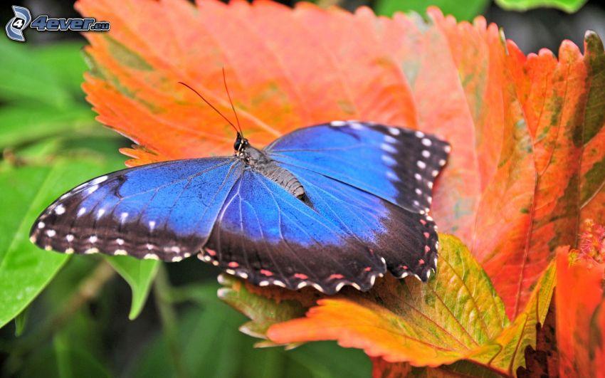 niebieski motyl, jesienny liść
