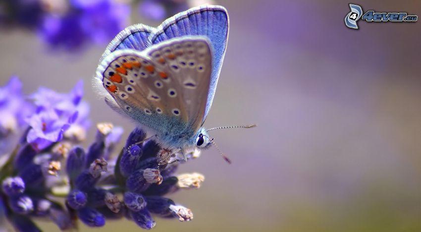 niebieski motyl, niebieski kwiat