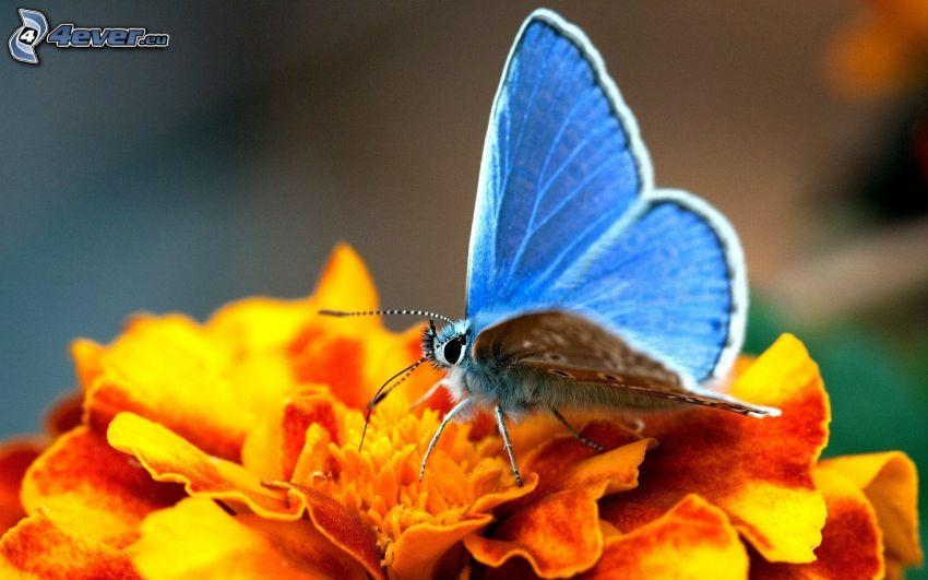 niebieski motyl, pomarańczowy kwiat