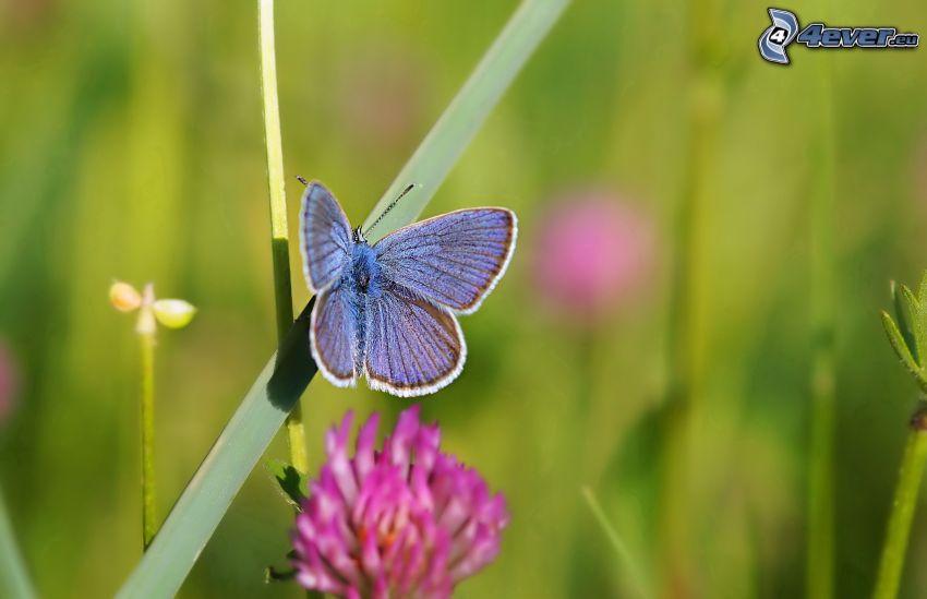 niebieski motyl, źdźbło, koniczyna