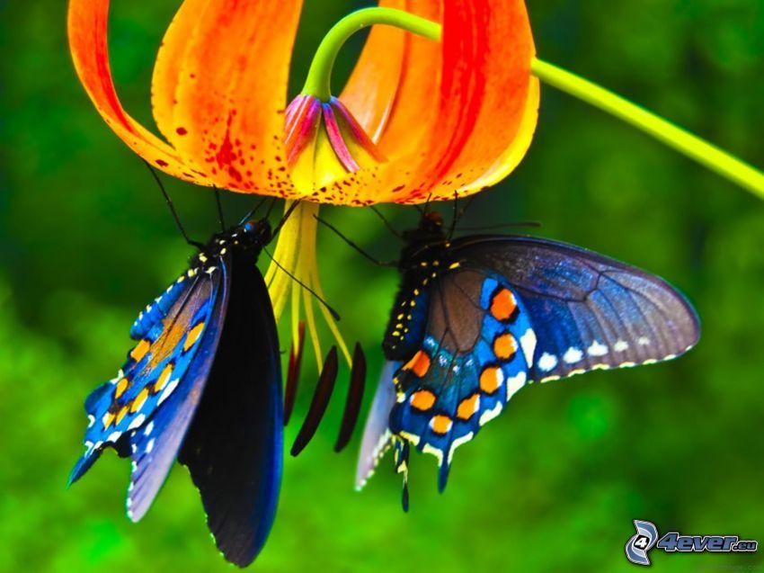 niebieskie motyle, kwiat