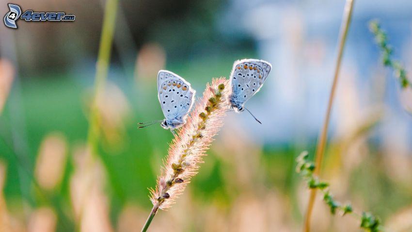 niebieskie motyle, roślina