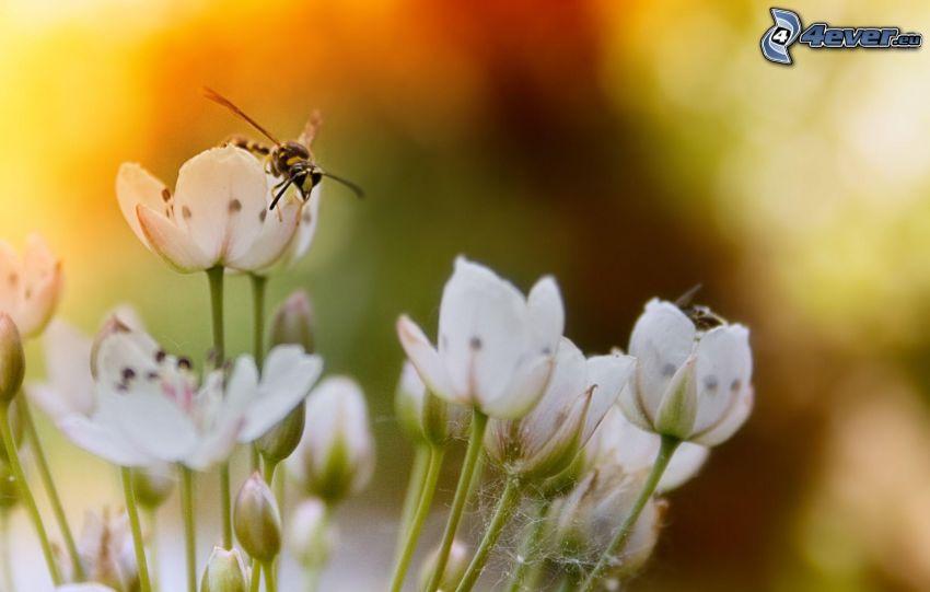 osa na kwiatku, białe kwiaty