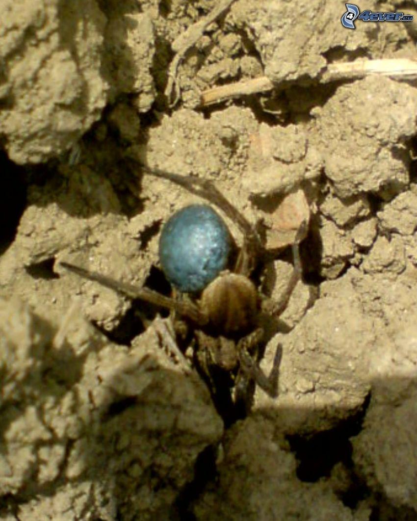 pająk, ziemia