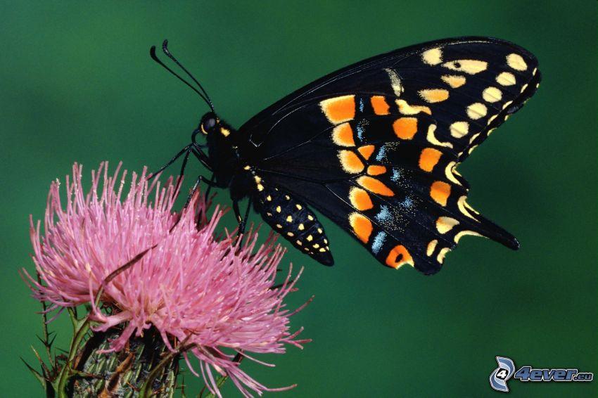 Paź królowej, czarny motyl, oset, makro