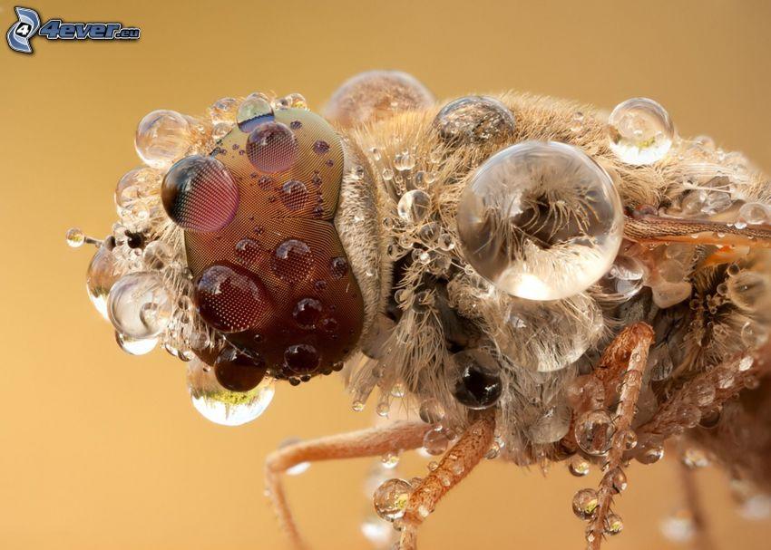 pszczoła, krople, makro