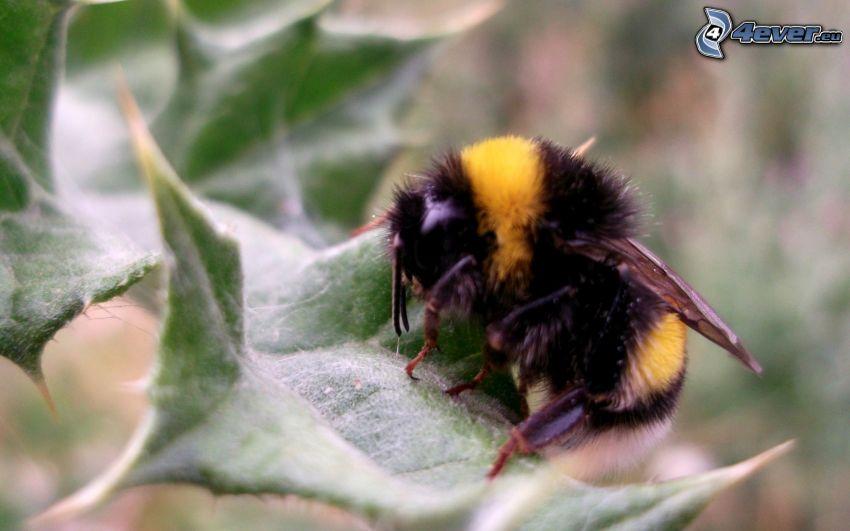 pszczoła, liść, makro