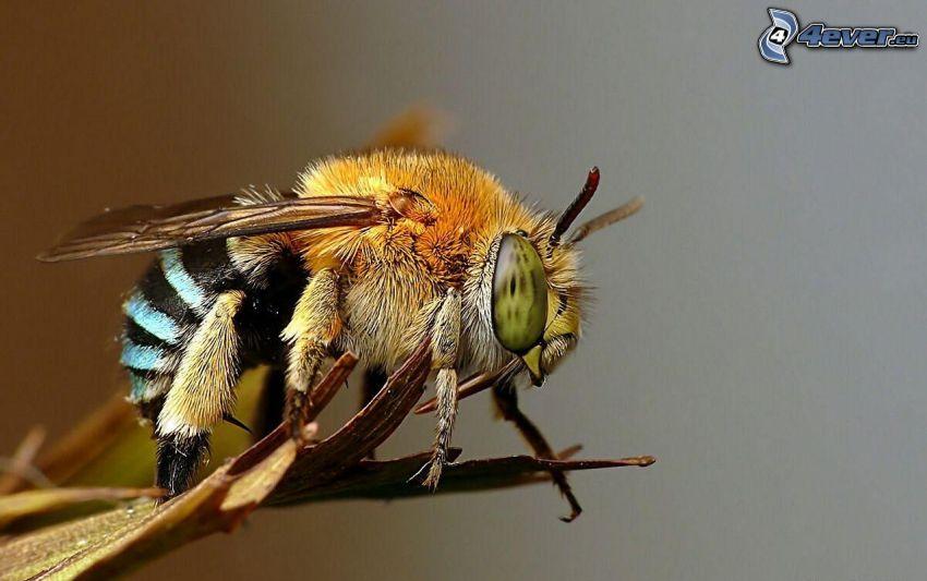 pszczoła, makro