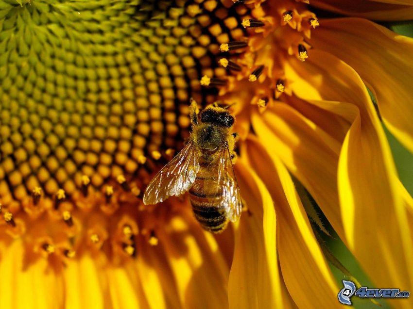 pszczoła, słonecznik, makro
