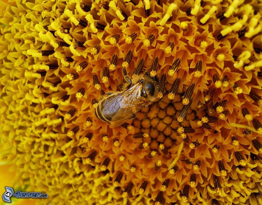pszczoła, słonecznik
