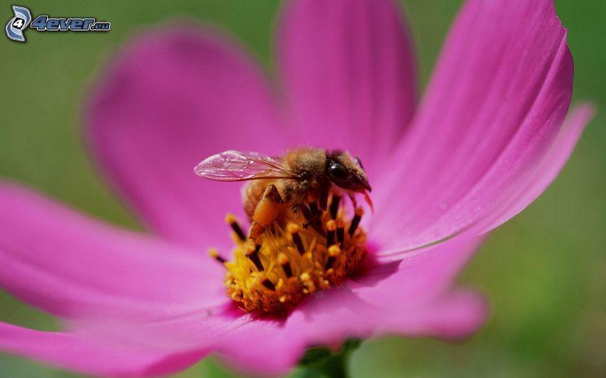 pszczoła na kwiatku, fioletowy kwiat, makro