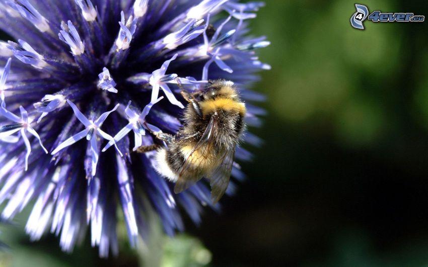 pszczoła na kwiatku, makro
