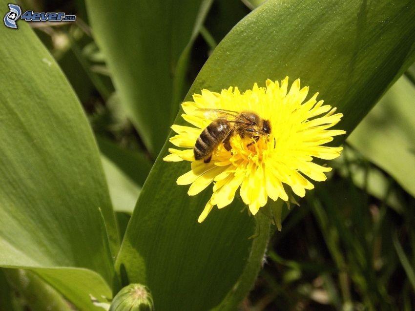pszczoła na kwiatku, mlecz, makro