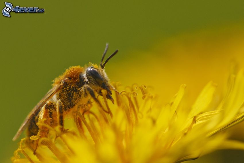 pszczoła na kwiatku, mlecz