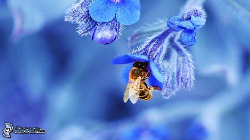 pszczoła na kwiatku, niebieski kwiat