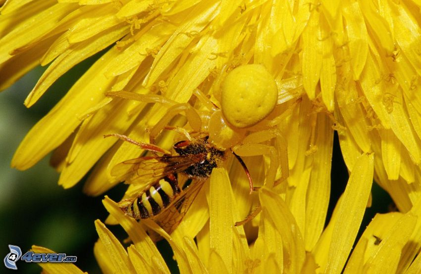 pszczoła na kwiatku, pająk, mlecz