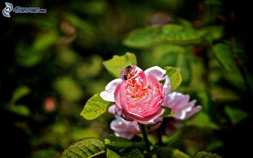 pszczoła na kwiatku, różowa róża