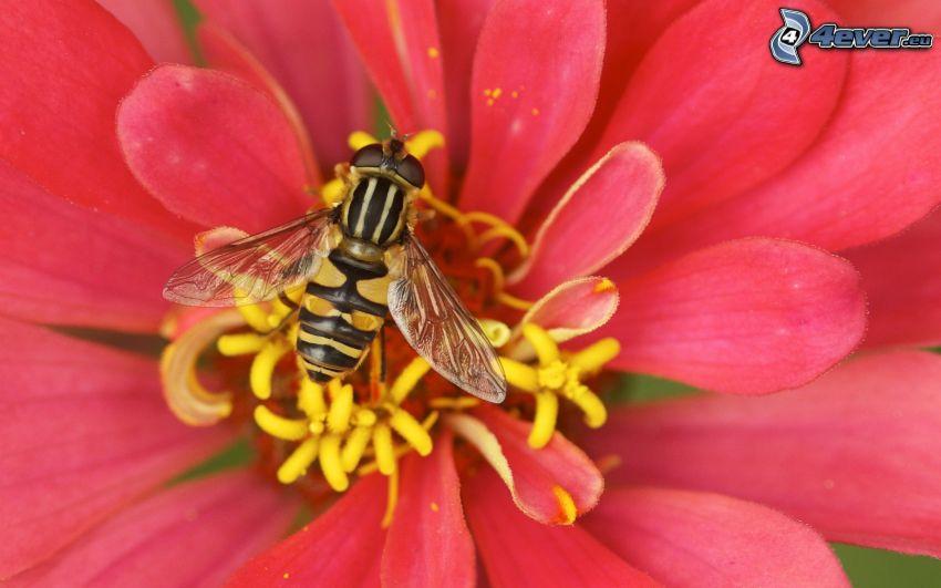 pszczoła na kwiatku, różowy kwiat, makro