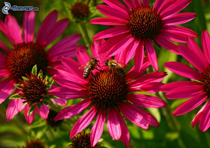 pszczoły, różowe kwiaty