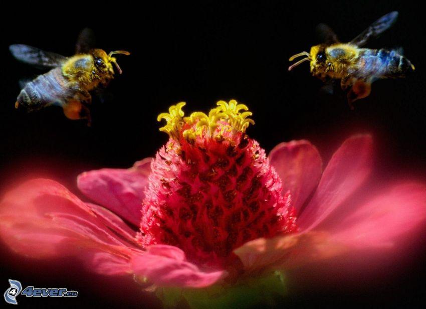 pszczoły, różowy kwiat
